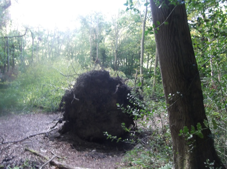 Uprooted tree at Allensford